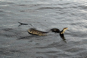 Cottonmouth Water Moccasin Airboat Rides and Nature Tour Airboat Rides Melbourne