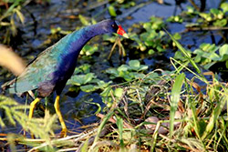 Gallinule Bird and Nest - See beautiful birds on our airboat tours