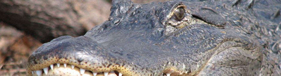 See alligators on our tours